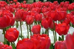 czerwony białe kwiaty Fotografia Royalty Free