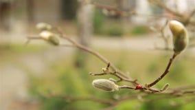 Czerwony biedronki czo?ganie na puszystym bia?ym magnolia p?czku w wczesnej wio?nie HD 1920x1080 zbiory wideo