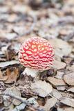 Czerwony biel pieczarki amanita muscaria fotografia royalty free