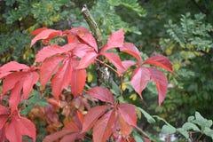Czerwony bluszcz i inni zieleni liście obraz stock