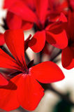 czerwony bodziszek Zdjęcia Royalty Free