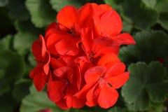 Czerwony bodziszek Zdjęcie Royalty Free