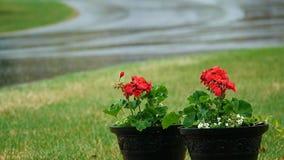 Czerwony bodziszek kwitnie outside w wiosna deszczu zbiory