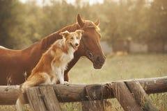 Czerwony Border collie pies, koń i Zdjęcie Stock