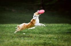 Czerwony Border collie pies skacze dla latającego frisbee dyska Obrazy Stock