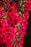 Czerwony bougainvillea Obrazy Royalty Free