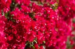 Czerwony bougainvillea Zdjęcie Stock