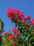 Czerwony bougainvillea Zdjęcie Royalty Free
