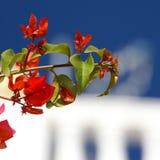 Czerwony bougainvillea Obrazy Stock