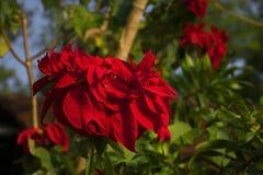 Czerwony Bougainvillea na drzewie obraz stock