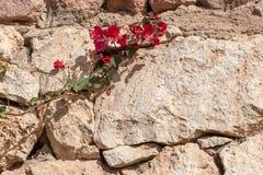 Czerwony bougainvillea, sharm el sheikh, Egipt Fotografia Stock