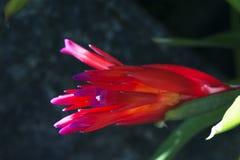 Czerwony bromeliad kwiaciasty Fotografia Stock