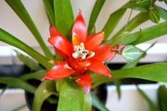 Czerwony Bromeliad kwiat Zdjęcia Stock