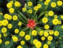 Czerwony Bromeliad kwiat w Calendula Fotografia Stock