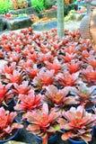 Czerwony bromeliad ogród Zdjęcie Stock