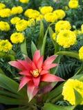 Czerwony Bromeliad w Żółtych kwiatach Obraz Stock