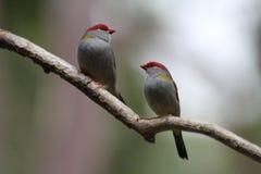 Czerwony Browed Finch w drzewie fotografia stock