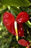 czerwony brylanta anthurium Fotografia Stock