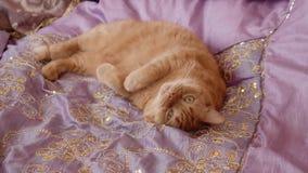 Czerwony Brytyjski kot kłama fryzowanie w w górę łóżka zbiory