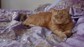 Czerwony brytyjski kot kłama na łóżkowych ciągnięcie łapach zdjęcie wideo