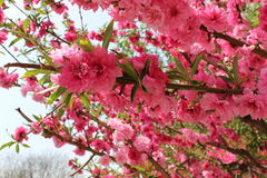 Czerwony brzoskwinia kwiat na małym branchr Zdjęcie Royalty Free