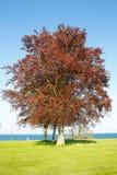Czerwony bukowy drzewo zdjęcie royalty free
