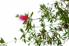 Czerwony butelki muśnięcia kwiat - Calistemon Citrinus Zdjęcia Royalty Free