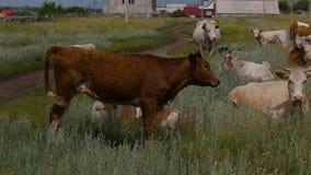 Czerwony byk na nieociosanym paśniku zdjęcie wideo