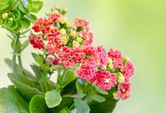 Czerwony Calandiva kwitnie up, Kalanchoe, rodzinny Crassulaceae, zakończenie, bokeh gradientu tło Zdjęcie Stock