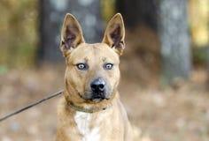 Czerwony cattledog mieszający Heeler trakenu pies fotografia royalty free