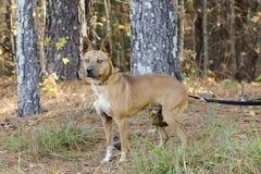 Czerwony cattledog mieszający Heeler trakenu pies zdjęcia stock