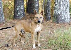 Czerwony cattledog mieszający Heeler trakenu pies obraz royalty free