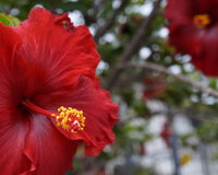 Czerwony Cayenne zdjęcia royalty free