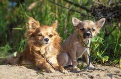 Czerwony chihuahua pies, szczeniak i Obraz Royalty Free