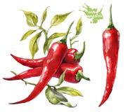 Czerwony chili pieprz Ręki rysunkowa akwarela na białym tle royalty ilustracja