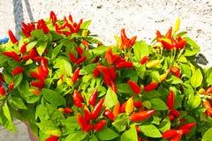 Czerwony chili pieprze obraz stock
