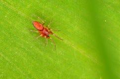 Czerwony Clubiona pająk Fotografia Royalty Free