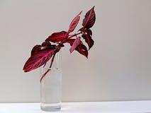 Czerwony coleus rroting Zdjęcia Stock