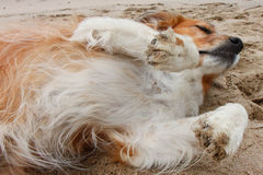 Czerwony collie psa lying on the beach w piasku przy plażą Obraz Stock