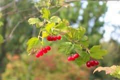 Czerwony Cranberry - Ukraińscy charaktery zdjęcia stock