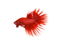 Czerwony Crowntail betta Fotografia Royalty Free