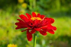 Czerwony cynia kwiat w ogródzie Zdjęcia Stock