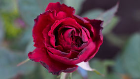 Czerwony czerni róży kwitnienie Fotografia Royalty Free