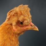 Czerwony Czubaty kurczak w profilu Obraz Royalty Free