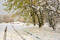 Czerwony Dębowy drzewo z spadać liśćmi na śniegu Fotografia Stock