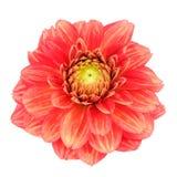 Czerwony dalia kwiat z kolorów żółtych lampasami Odizolowywającymi na Białym tle Obrazy Royalty Free