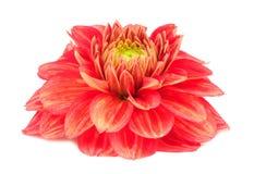 Czerwony dalia kwiat z kolorów żółtych lampasami Odizolowywającymi na Białym tle Fotografia Royalty Free