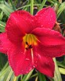 Czerwony daylily kwiat zdjęcie royalty free