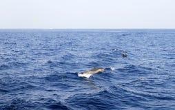 czerwony delfinu morze Obraz Stock