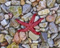 Czerwony dennej gwiazdy zbliżenie Obraz Stock